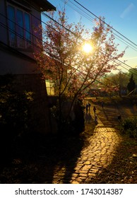 Vietnamese children go to school in spring, rock path lead to school make wonderful view, beautiful landscape at early morning, Da Lat scene with Sakura flower blooming under yellow sunlight