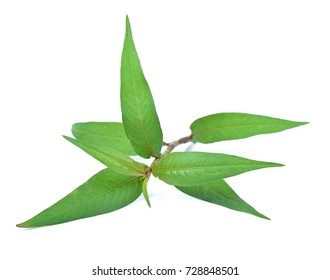 Vietnamese Coriander isolate on white background.