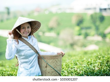 Vietnamese dressed in national costume is collect soft tea leaves in the morning tea plantation