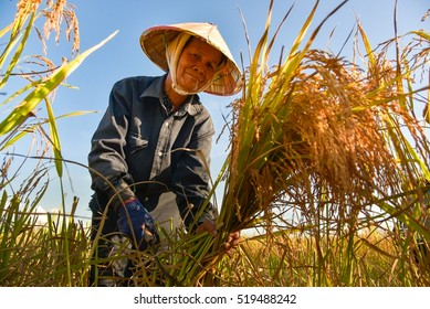 Vietnamese farmer working on rice field in delta Vietnam.