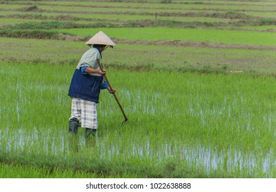 Vietnamese man working in rice paddy with a rake