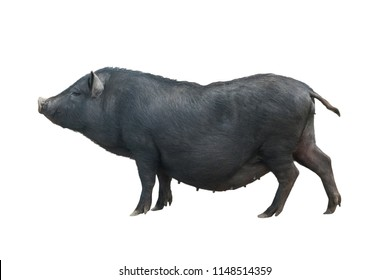 Vietnamese pig isolated on white background