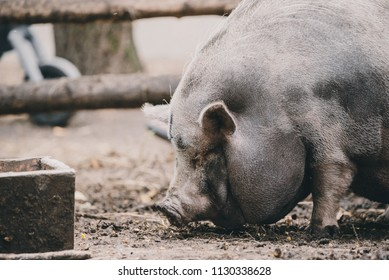 Vietnamese pig on the farm