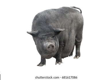 Vietnamese piggyback pig isolated on a white background
