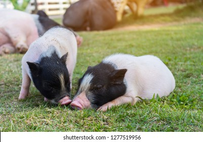 vietnamese pot belly piglets lie on the lawn in the farm