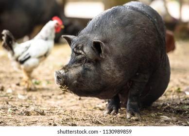 Vietnamese Pot-bellied  in a contact zoo, Kharkov, Ukraine