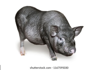 Vietnamese Pot-bellied pig. Cute little black piglet. Pig breeding. Isolated on white