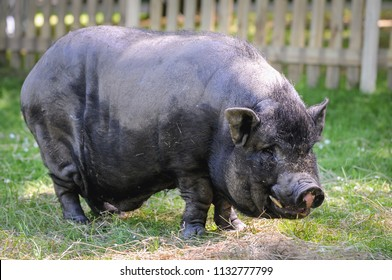 Vietnamese Pot-bellied pig in Poland