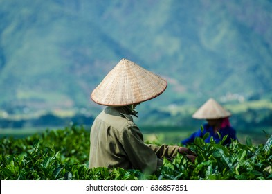 Vietnamese Tea Plantation