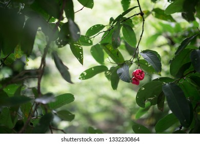 The vietnamese waterapple or Syzygium samarangense is a tropical fruit also called wax apple, Java apple, Semarang rose-apple, wax jambu in Vietnam