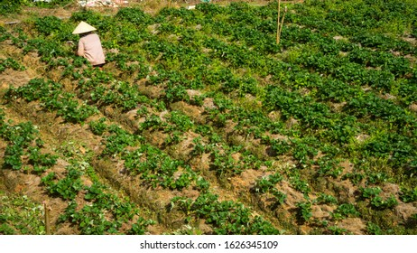 Vietnamese woman caring for strawberries on plantations in the city of Dalat.