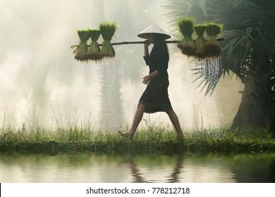 Vietnamese woman farmer Bearing seedlings of rice To plant,