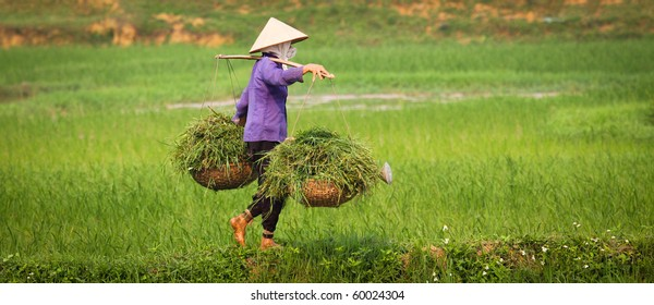 A vietnamese woman is at work in a ricefield, keeping balance while carrying heavy load.