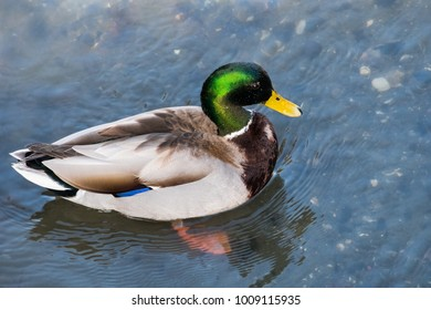 View from above of brightly colored male mallard duck (Anas platyrhynchos); water drops shining on its head; Mountain View, San Francisco bay area, California