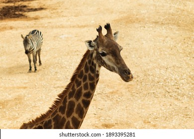 A view from above of a giraffe, in the blurred background there is a zebra