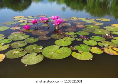 View from above, lotuses on water surface of a pond