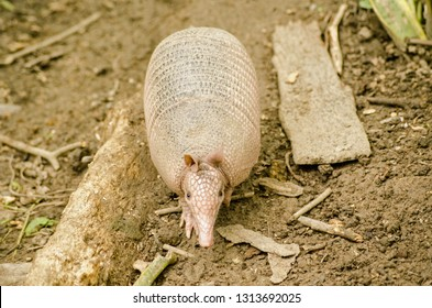 View from above of a nine banded armadillo, known locally as a tattoo, in the rainforest in Tobago.  Latin name Dasypus novemcinctus.