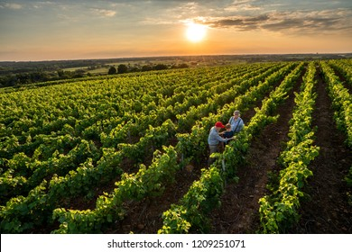 View from above. Three generations of French winegrowers in their vineyards at sunset. Father and grandfather teach the younger one the trade