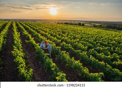 View from above. Two French winegrowers in their vineyards at sunset. They analyze the results on a digital tablet.