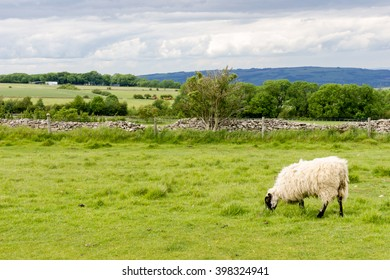 View across fields and farmland in the Cotswolds with sheep in the foreground. Image taken from Cleeve Hill near Cheltenham in Gloucestershire.