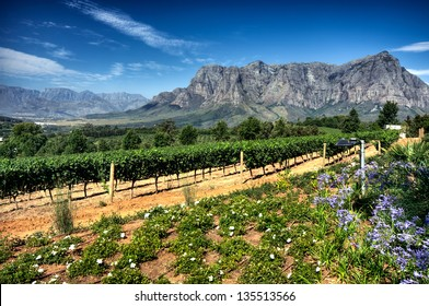 View across vineyards of the Stellenbosch district with the Simonsberg mountain in the background , Western Cape Province, South Africa.
