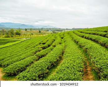 View from afar of the trimmed bushes of tea plants in a blur view of tea plantation and trees on a hill and mountain range on a horizon