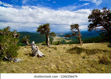 View to Alma and Fairplay through the Bristlecone Pines (Pinus aristata Engelm.) old trees in Colorado, Southpark, survivor trees