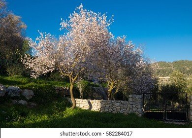 View of almond tree blooming with beautiful flowers in February around ruins of ancient farm in the nature reserve Sataf near Jerusalem, Israel