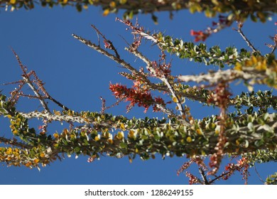 View along branch of Ocotillo plant, Fouquieria splendens, with tiny little flowers in the California desert on a sunny day with blue skies for background.