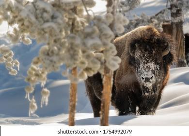 Blick auf einen amerikanischen Bison im Winter