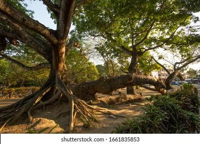 View of the ancient Árbol de Ceiba in La Antigua, Veracruz, Mexico, rumored to be the tree that Hérnan Cortés tied his sailing fleet to.