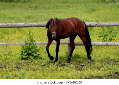 view Arabian Horse with his head to the side