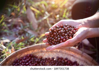 View of Arabica berry coffee harvesting with Robusta young farmer and Arabica berry coffee with farmer Gia Lai, Vietnam.