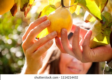 View Of Attractive Long Haired Woman Picking Up A Quince From The Tree In The Garden