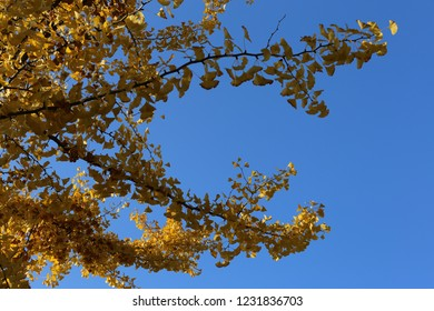 View in autumn of Ginkgo biloba tree, , also known as the maidenhair tree, Ginkgoaceae family. Pattern of bright yellow leaves on branches with a blue sky in background. Golden colors.