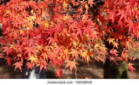 The view of autumn leaves