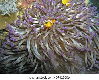 View of baby clown anemonefish and sea anemone