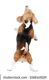 View from back of  beagle standing on hind legs on white background