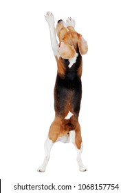 View from back of a begging beagle on hind legs
