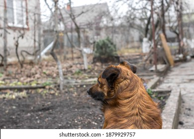 View from the back. The ginger dog looks ahead. Guarded territory. Guard dog. Homeless animals. The dog looks into the yard of a private house. Outbred dog. A devoted friend. Looking ahead.