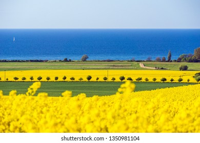 View to the Baltic Sea with canola field.