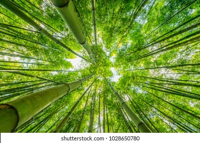 view up bamboo forest, beautiful nature wallpaper, green bamboo forest