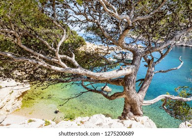 View of the beach in the calanque de Morgiou with turquoise water and a stone pine tree in the foreground, on the mediterranean shore near Marseille in the south of France on a sunny spring day.
