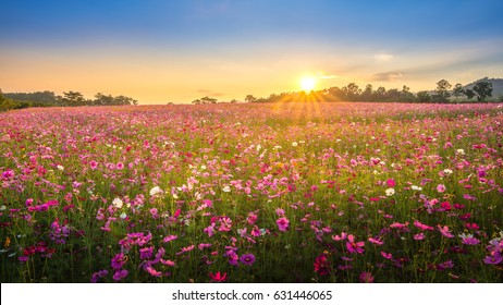 View of beautiful cosmos flower field in sunset time.