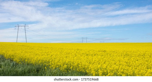 View of a beautiful field of bright yellow canola or rapeseed with a blue sky on a sunny day in Hungary