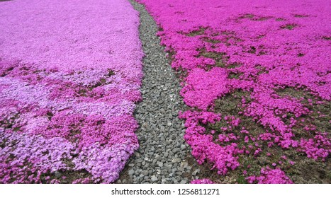 View of a beautiful field of pink flowers known as moss phlox with a walking path in between