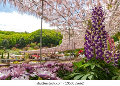 View of beautiful full bloom Wisteria blossom trees and Lupinus and multiple kind of flowers in springtime sunny day at Ashikaga Flower Park, Tochigi prefecture, Famous travel destination in Japan