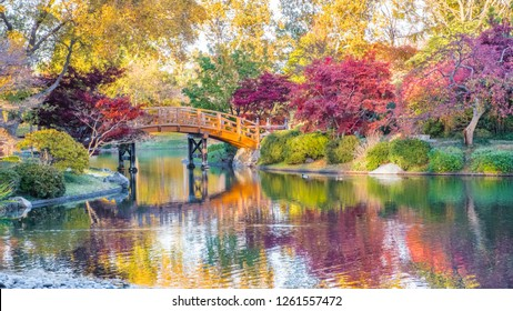 View of beautiful Japanese garden in Midwestern botanical garden in fall; traditional Japanese bridge in the background
