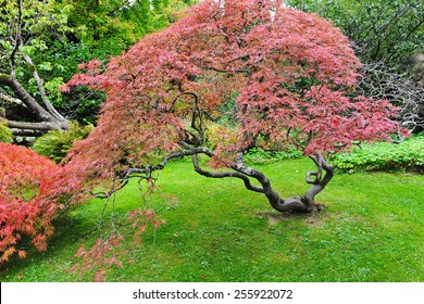 View of a Beautiful Japanese Maple Tree in Autumn