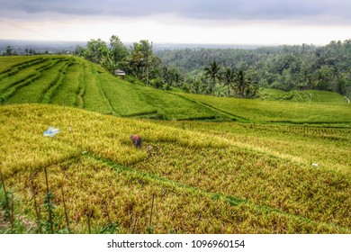view of beautiful paddy field in Bali Indonesia